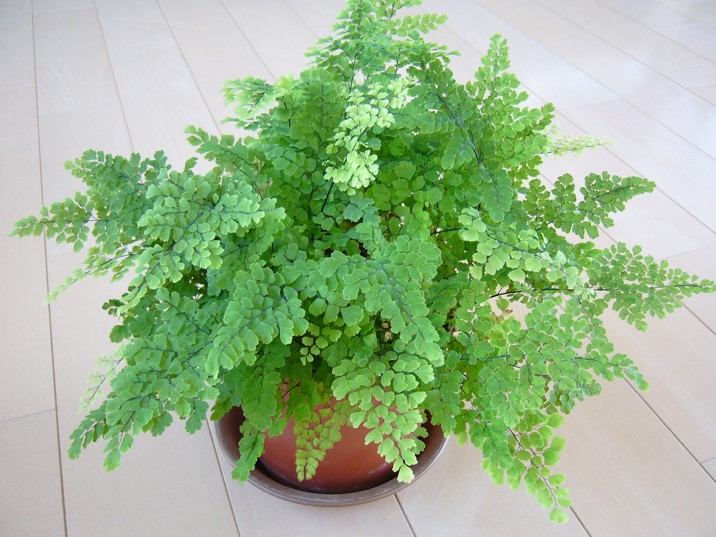 人気観葉植物アジアンタム